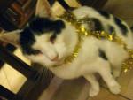 Chat domino -  Mâle (11 ans)