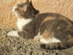 Chat Cannelle -  Femelle (18 ans)
