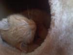 Chat Gédéon -  Femelle (0 mois)