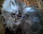 Chat Sacha -  Mâle (3 mois)