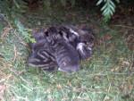 Chat Petite famille vu dans un buisson chez une connaissance 2 :) -  Femelle (0 mois)