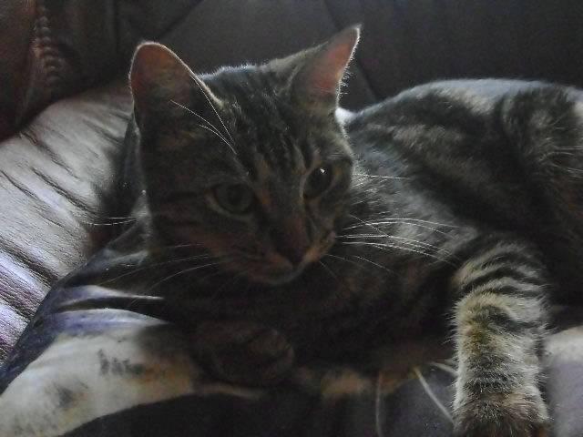 Chat Bibi -  Femelle (2 ans)
