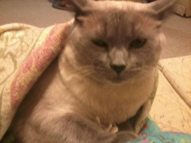 Chat Molly -  Femelle (10 ans)