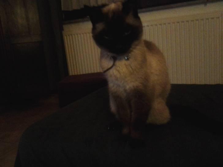 Chat pastissou -  Mâle (18 ans)