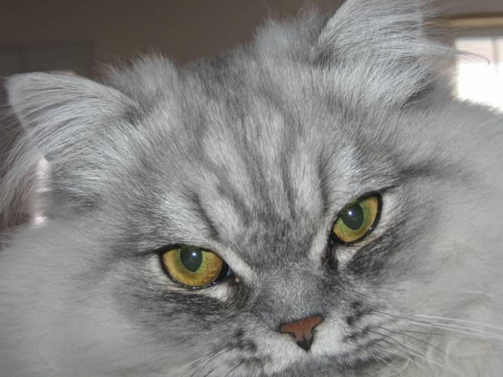 Chat Bicky -  Mâle (2 ans)