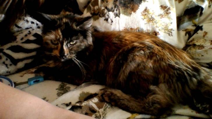 aurora chat 6 sept 2016  la douce beauté d'aurora va vous faire rêver ce chat a en effet littéralement  fait fondre la toile avec sa jolie bouille et si vous ne la.