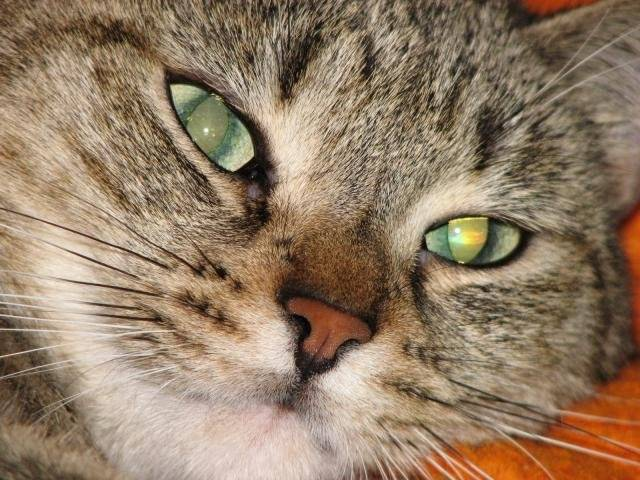 Chat Marley -   (0 mois)