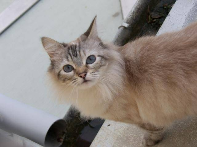 Chat tya race mélangée -   (0 mois)