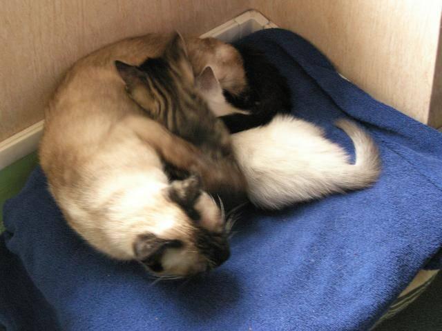 Chat laila et ses bébé -   (0 mois)