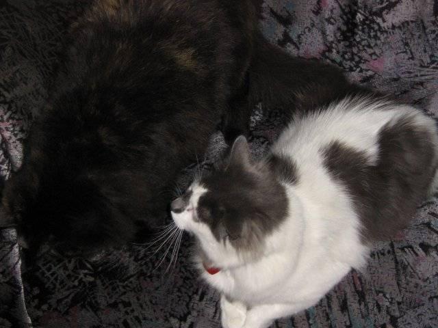 Chat Elga et Ti-Coeur -   (0 mois)
