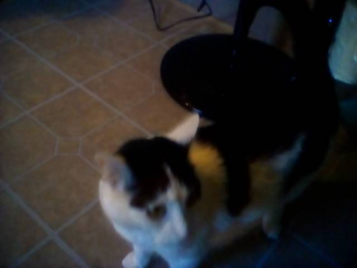 Chat Roary -  Femelle (6 ans)