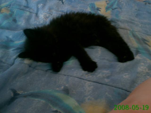 Chat cacaouette -  Femelle (4 mois)