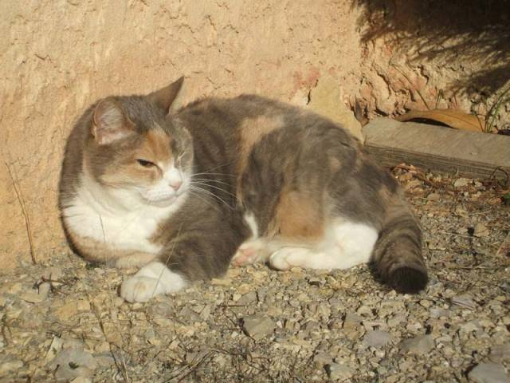 Chat Cannelle -  Femelle (18 ans)