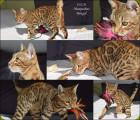 Chaton Bengal femelle à vendre : Lizzie