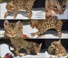 Chaton Bengal mâle à vendre : Lowen