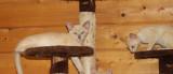 Adorables chatons burmese anglais avec pedigree