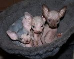 Chatons Sphynx disponibles en septembre