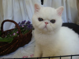 Chatons Exotic Shorthair disponibles à la vente