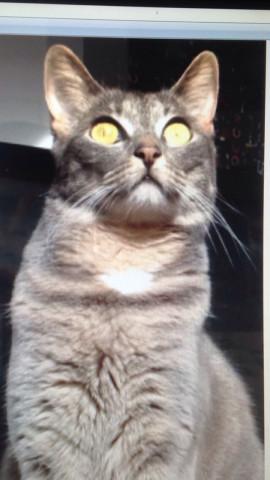 Perdu sur Seclin (59113) chatte tigrée grise