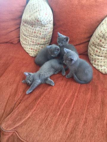 A Reserver 4 Adorables Chatons Chartreux Petite Annonce Chat