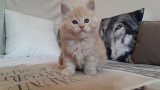 nel chatonne Maine Coon LOOF