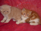 A reserver magnifiques chatons Persan Exotic LOOF