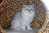 Offre cadeau des petits chaton persan