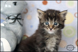 Chatons Maine Coon