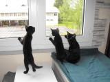Portée de 2 chatons déclarée LOOF