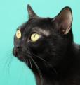Jeff the Cats Love mâle Bombay cherche femelle pour mariage