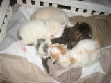 Adorables chatons persans ou exotics à réserver