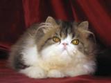 Superbe chaton persan LOOF