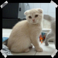 Chaton scottish fold