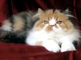 chaton persan femelle black tortie et blanc