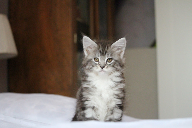 Chatons Maine Coons