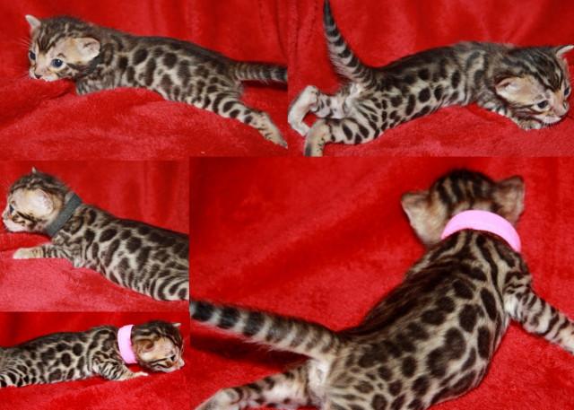 chatons bengal loof paiement 10 fois livraison petite annonce chat. Black Bedroom Furniture Sets. Home Design Ideas