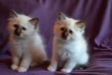 Magnifiques chatons sacré de Birmanie