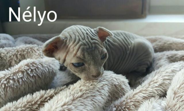 Sphynx bleu avec pedigrees
