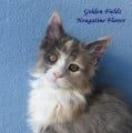Superbe chaton Maine Coon Blue Cream and White