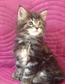 Chatonne Maine Coon Polydactyle