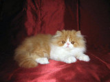 Chaton persan mâle roux et blanc LOOF