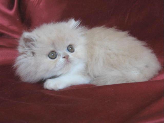 Chaton Persan mâle crème et blanc LOOF