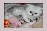ADORABLE petite femelle persane silver/chinchilla LOOF