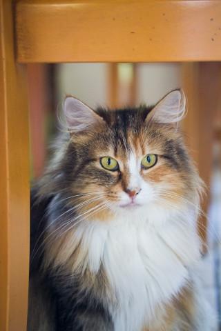 CH.INT. Havannah de la Modra Kotchka-maman des chatons