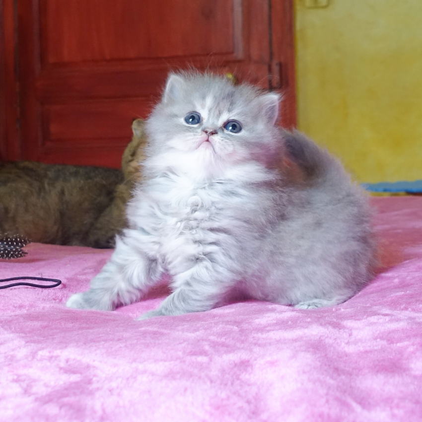 Sublime chaton Highland Straight bleu tabby et blanc