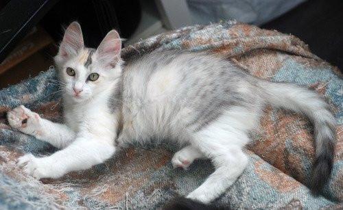 Chaton femelle Angora Turc LOOF Tortie Silver et blanc