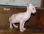 Mâle Peterbald disponible