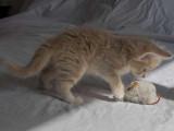 Adorables chatons Norvégiens à vendre
