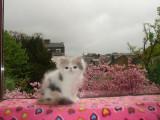Chatons Persan mâles blancs