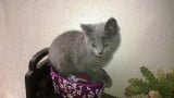 Chartreux chatons disponibles, M et F, vac, pucés, ident, pedigree